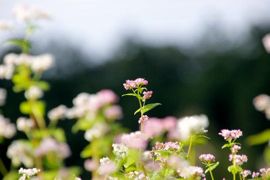 そばの花 1l.jpg