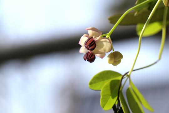 アケビの花l.jpg