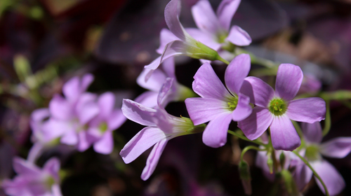オキザリス 紫1l.jpg