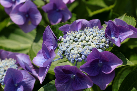 ガクアジサイ 紫.jpg