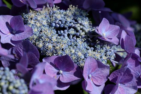 ガクアジサイ 紫 2l.jpg