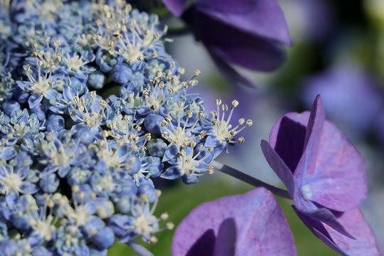 ガクアジサイ 紫 3l.jpg