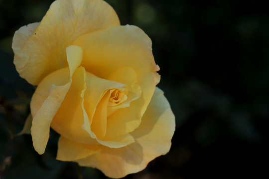 バラ 2.jpg