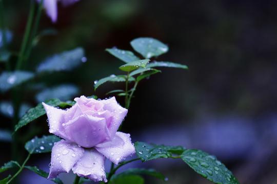 バラ ブルームーン 1-1l.jpg