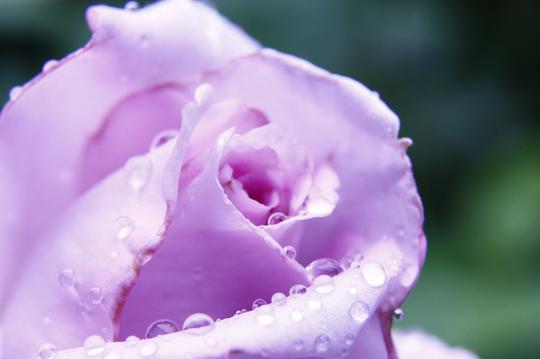 バラ ブルームーン 1-4l.jpg