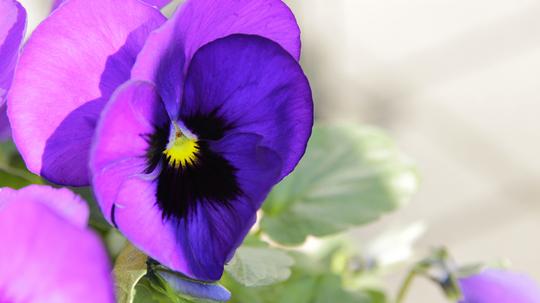 パンジー 濃紫1l.jpg