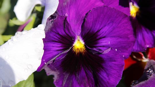 パンジー 濃紫2l.jpg
