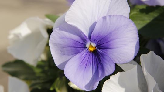 パンジー 薄紫1l.jpg