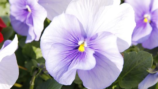 パンジー 薄紫2l.jpg