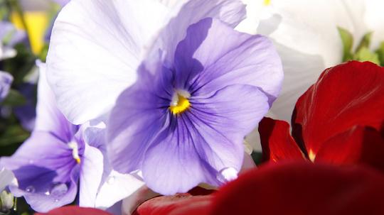 パンジー 薄紫3l.jpg