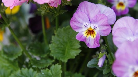 ビオラ 桃紫2l.jpg