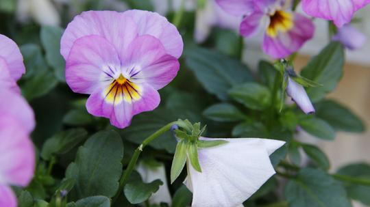ビオラ 桃紫3l.jpg
