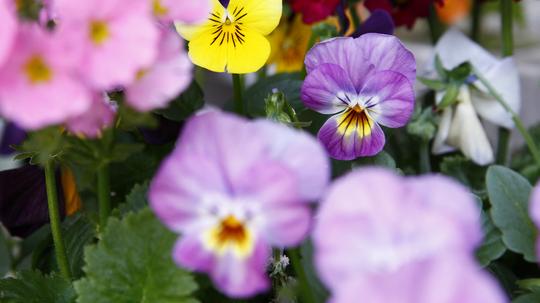 ビオラ 桃紫4l.jpg