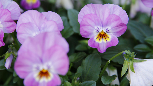 ビオラ 桃紫5l.jpg