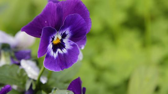 ビオラ 濃紫1l.jpg