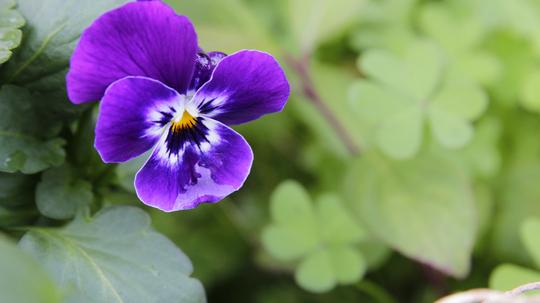 ビオラ 濃紫2l.jpg