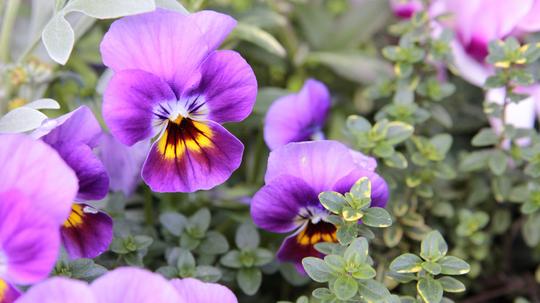 ビオラ 紫1l.jpg