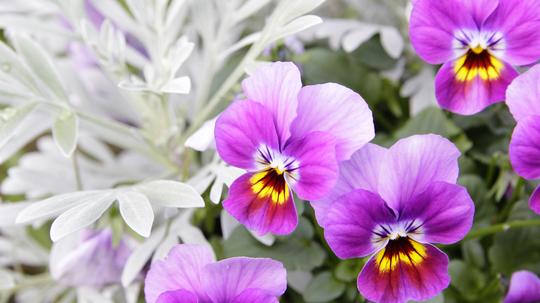 ビオラ 紫2l.jpg