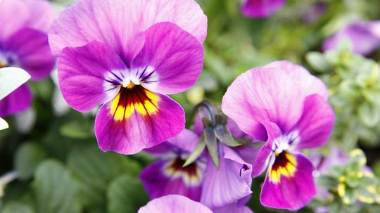 ビオラ 紫3l.jpg