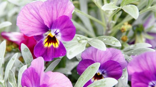 ビオラ 紫4l.jpg
