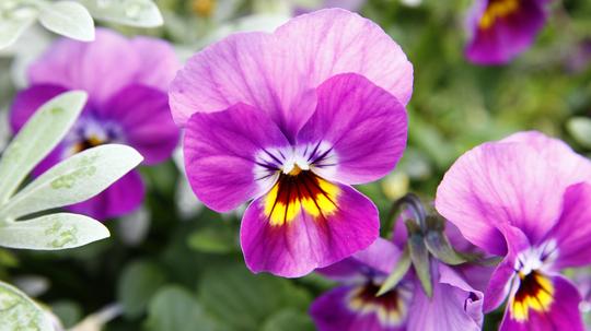 ビオラ 紫5l.jpg