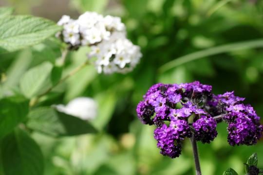 ヘリオトロープ 白と紫 1l.jpg