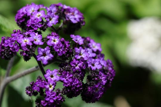 ヘリオトロープ 白と紫 2l.jpg