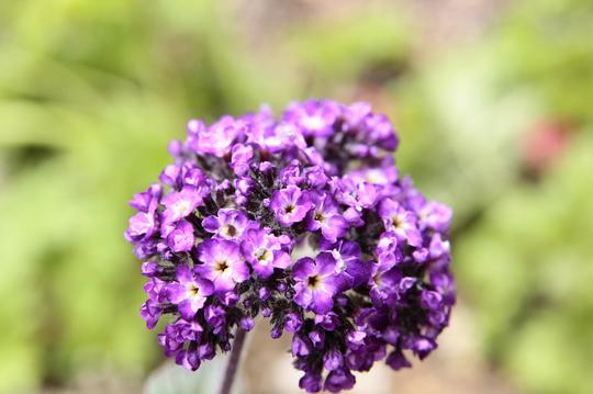 ヘリオトロープ 紫 1l.jpg