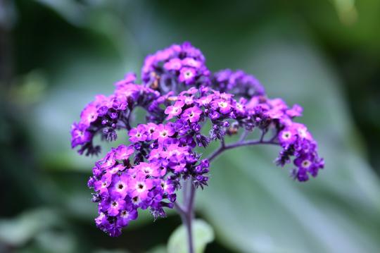 ヘリオトロープ 紫 2l.jpg