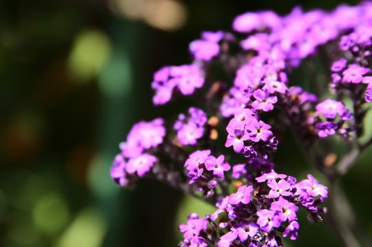 ヘリオトロープ 紫 4l.jpg