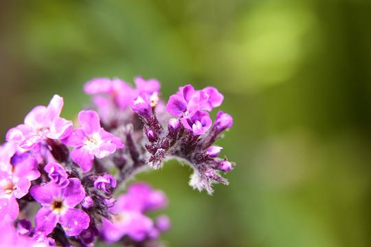 ヘリオトロープ 紫 5l.jpg