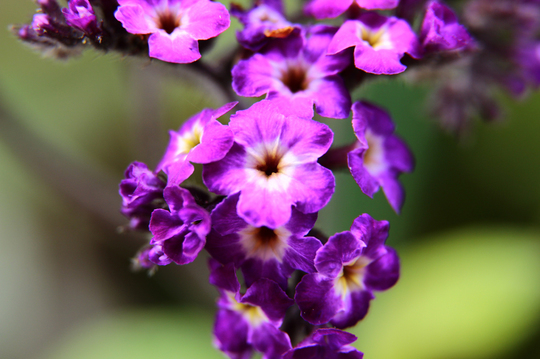 ヘリオトロープ 紫 6l.jpg