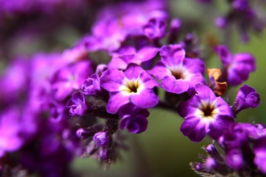 ヘリオトロープ 紫 7l.jpg