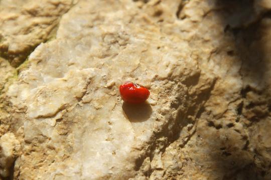 マユミの種 3l.jpg