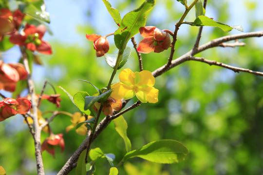 ミッキーマウスの木(オクナ・セルラタ) 1-1l.jpg