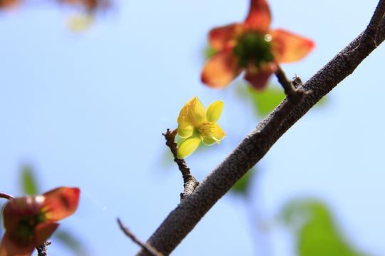 ミッキーマウスの木(オクナ・セルラタ) 1-2l.jpg