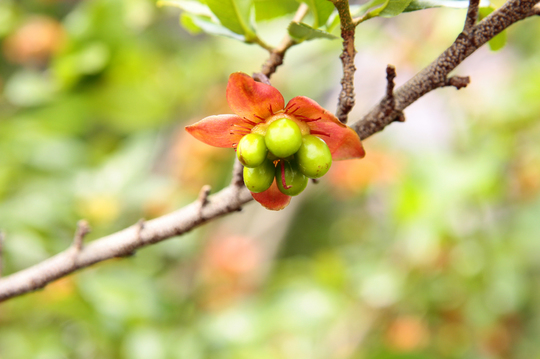 ミッキーマウスの木(オクナ・セルラタ) 2-5l.jpg