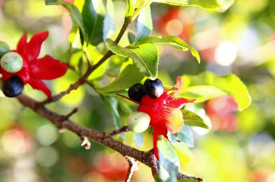 ミッキーマウスの木(オクナ・セルラタ) 5-3l.jpg