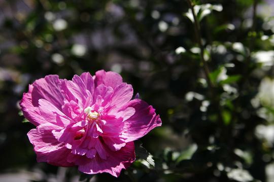 ムクゲ 紫 1-1l.jpg
