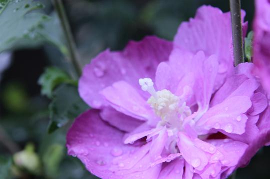 ムクゲ 紫 2-3l.jpg