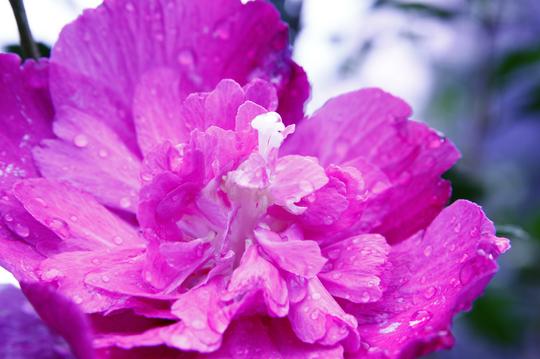 ムクゲ 紫 2-4l.jpg