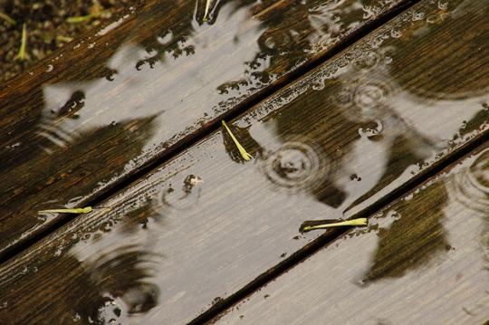 ヤコウボク 雨 4l.jpg