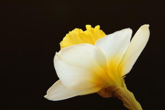 ラッパスイセン 白黄 1-3l.jpg