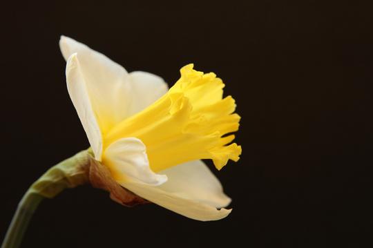 ラッパスイセン 白黄 1-4l.jpg