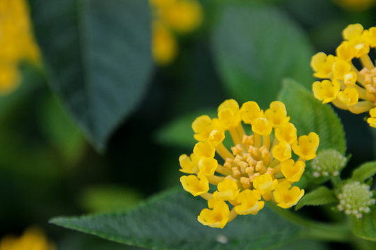 ランタナ 黄色 2l.jpg