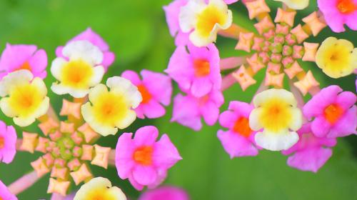 ランタナ紫3.jpg