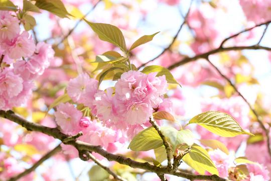 八重桜1l.jpg