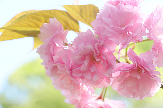 八重桜2l.jpg