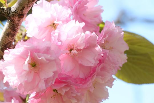八重桜3l.jpg