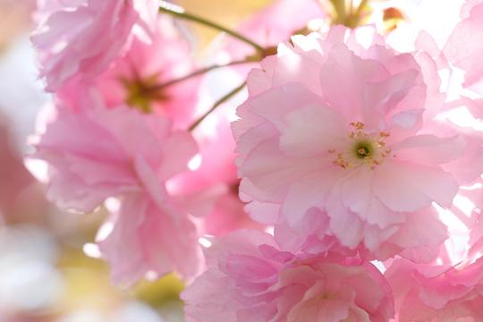 八重桜4l.jpg